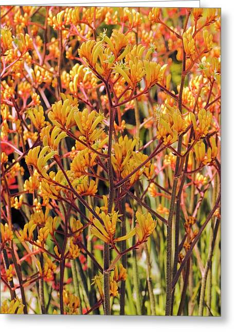 Anigozanthos Flavidus 'tangerine' Greeting Card by Adrian Thomas