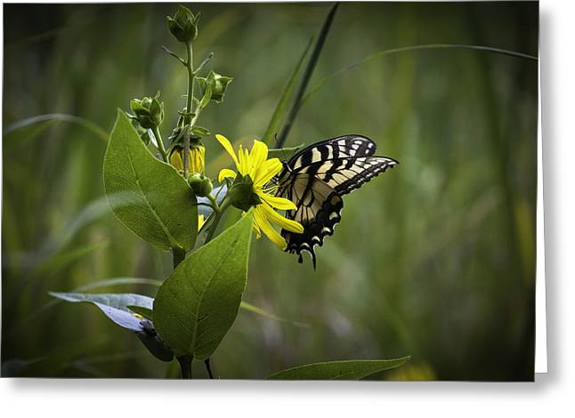 Anise Swallowtail 001 Greeting Card
