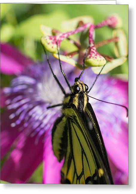 Greeting Card featuring the photograph Anise Swallowtail Butterfly And Passionflower by Priya Ghose