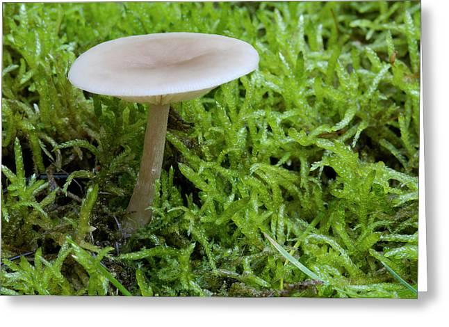 Aniseed Funnel Fungus Greeting Card