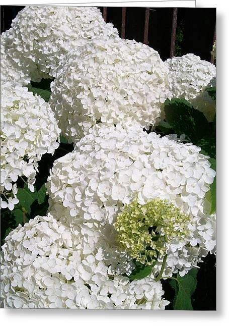 Annabelle Hydrangea  Greeting Card by Sharon Duguay