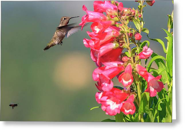 Anna's Hummingbird And A Bee Greeting Card by Tom Norring