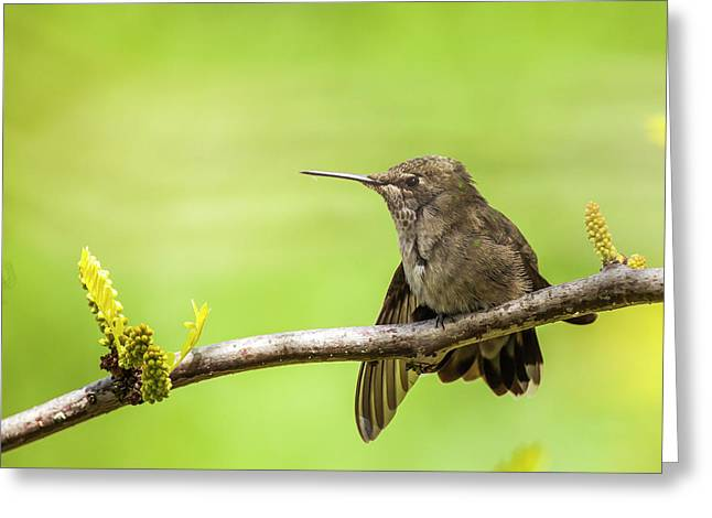 Anna's Hummingbird At Rest Greeting Card