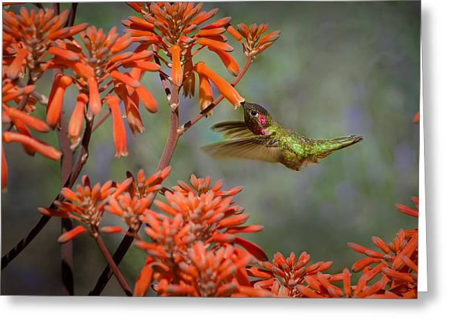 Anna's Hummingbird Greeting Card by Linda Villers
