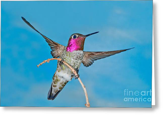 Annas Hummingbird Male Greeting Card by Anthony Mercieca