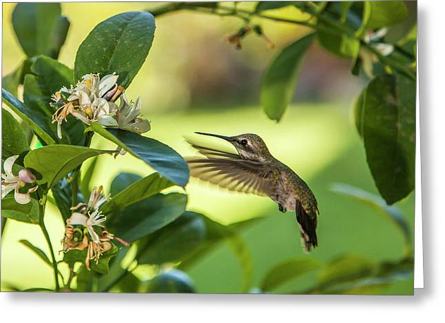 Anna's Hummingbird Sipping At A Meyer Greeting Card
