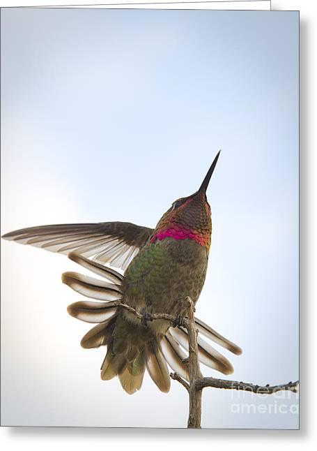 Anna's Hummingbird Greeting Card by Sukhdev Saini