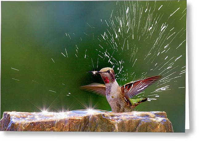 Anna's Hummingbird Taking A Shower Greeting Card by Tom Norring
