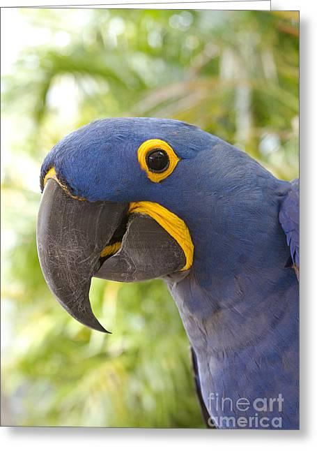 Anodorhynchus Hyacinthinus - Hyacinth Macaw Greeting Card