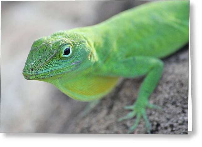 Anole Greeting Card by Jose Oquendo