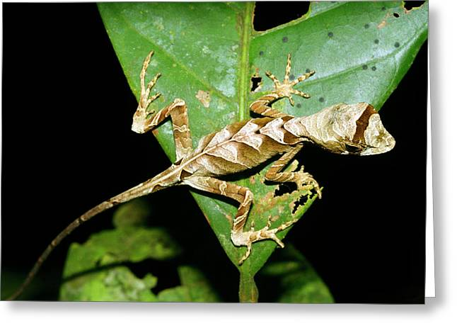 Anolis Lizard Greeting Card by Dr Morley Read/science Photo Library