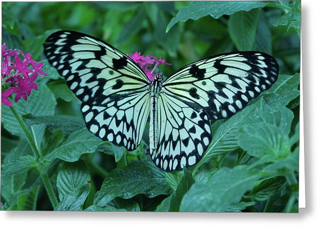Another Butterfly  Greeting Card by Jeff Swan