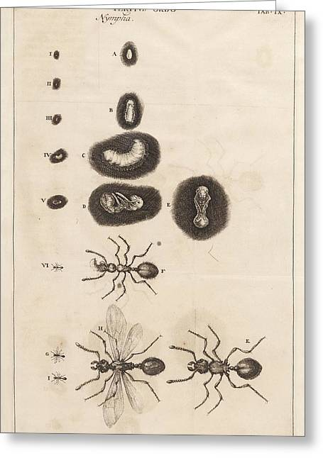 Ant Life Cycle Greeting Card by King's College London