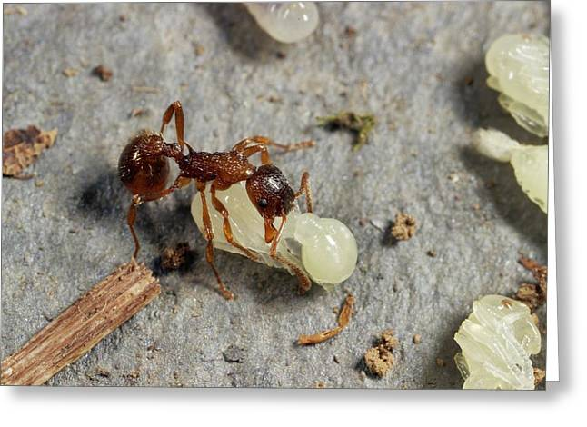 Ant Lifting Pupa Greeting Card