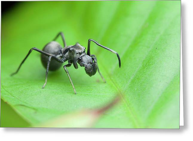 Ant-mimic Jumping Spider Greeting Card by Melvyn Yeo