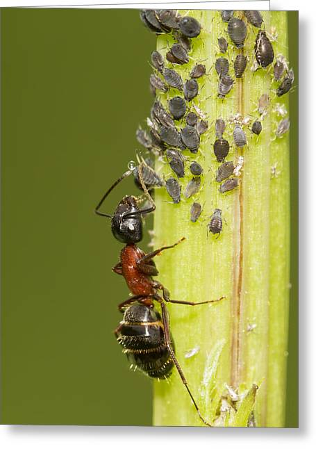 Ant Tending Aphids Greeting Card by Mircea Costina Photography