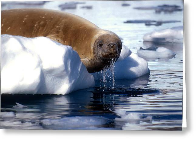 Greeting Card featuring the photograph Antarctic Crabeater Seal by Dennis Cox WorldViews