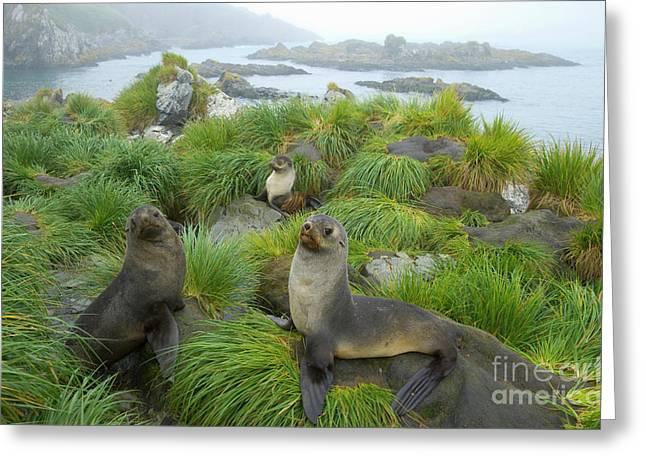 three Antarctic Fur Seals Greeting Card by Yva Momatiuk John Eastcott