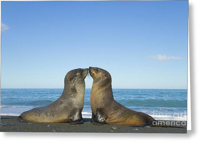 Antarctic Fur Seal Pups Kissing Greeting Card by Yva Momatiuk John Eastcott