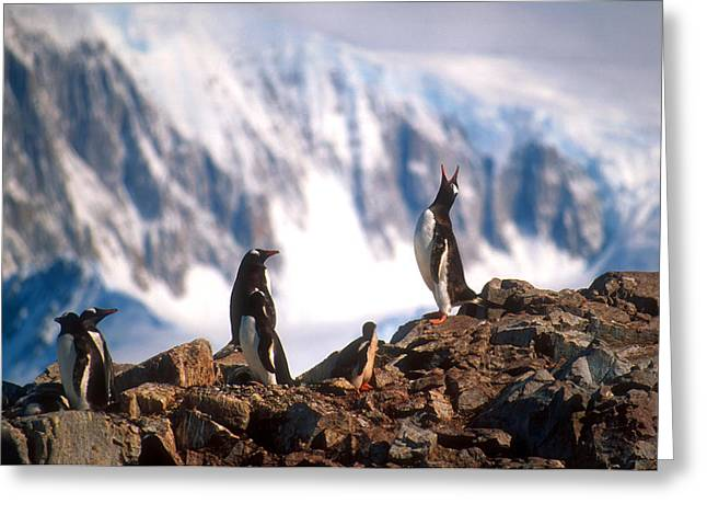 Greeting Card featuring the photograph Antarctic Gentoo Penguins by Dennis Cox WorldViews