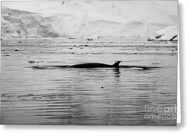 antarctic minke whale Balaenoptera bonaerensis surfacing with dorsal fin in fournier bay antarctica Greeting Card by Joe Fox