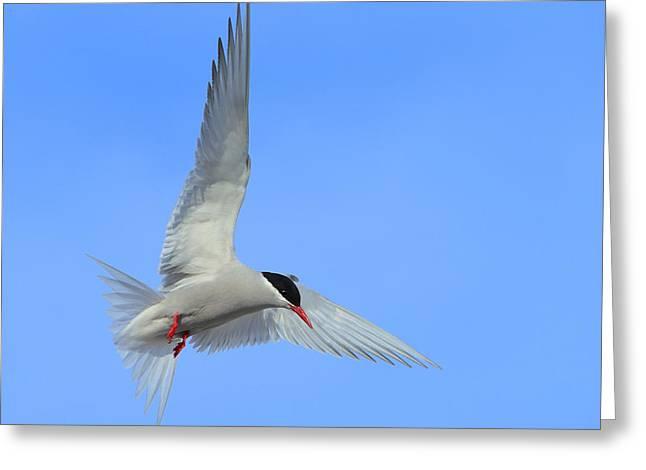 Antarctic Tern Greeting Card by Tony Beck