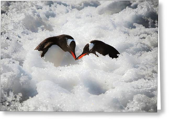 Antarctica A Pair Of Gentoo Penguins Greeting Card by Janet Muir