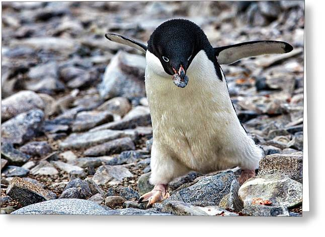 Antarctica Adelie Penguin Gathers Greeting Card