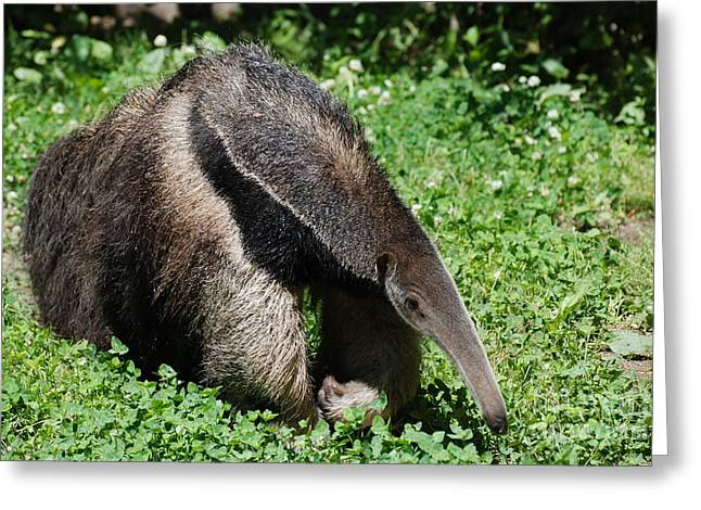 Anteater Greeting Card by DejaVu Designs