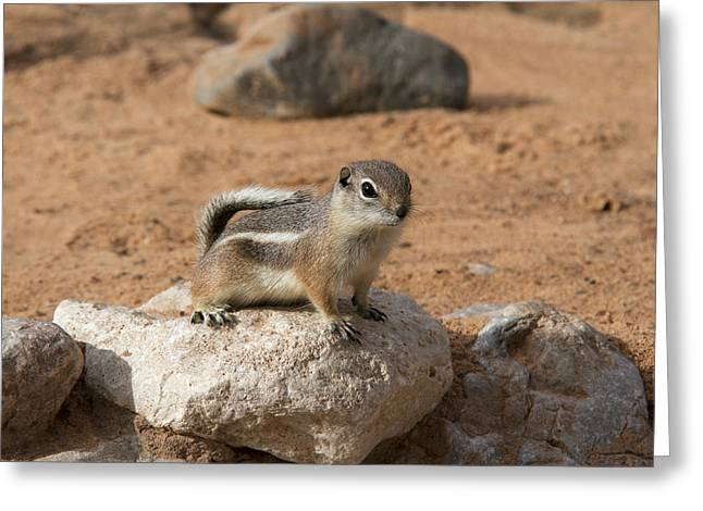 Antelope Ground Squirrel Greeting Card by Debby Richards