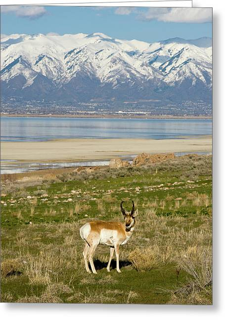 Antelope On Shore Of Antelope Island Greeting Card by Howie Garber