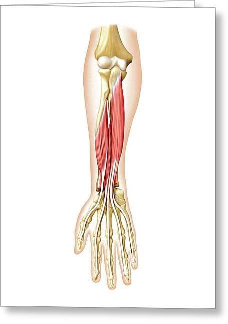 Anterior Muscles Of Forearm Greeting Card by Asklepios Medical Atlas