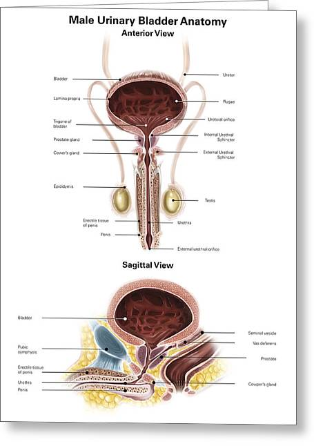 Anterior View And Sagittal View Of Male Greeting Card by Alan Gesek