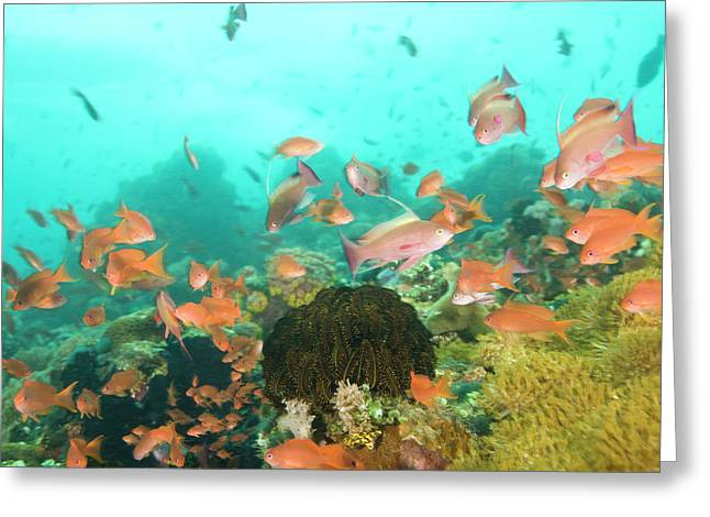 Anthias Fish (pseudanthias Squamipinnis Greeting Card by Stuart Westmorland