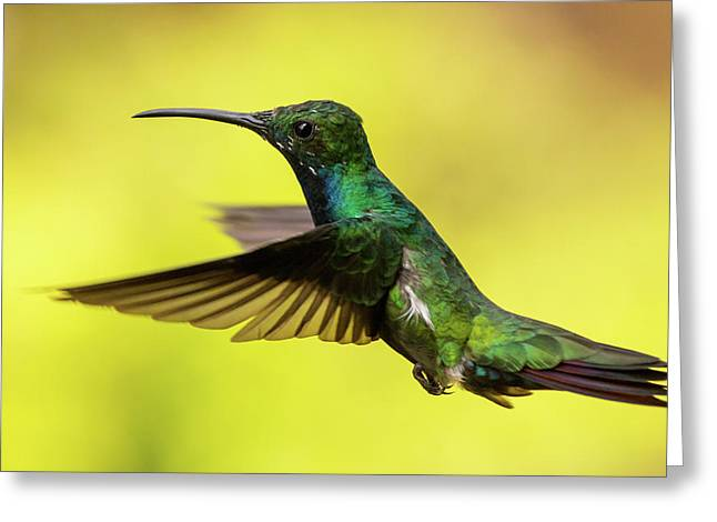Anthracothorax Nigricollis Greeting Card by Jorge Garc�a