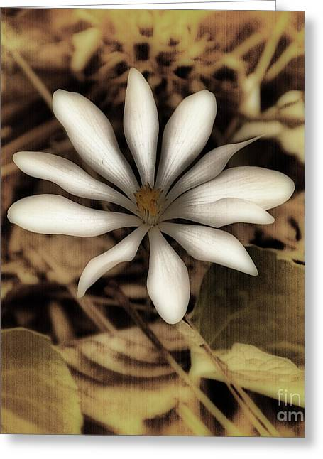 Antique Bloodroot Greeting Card by Skip Willits