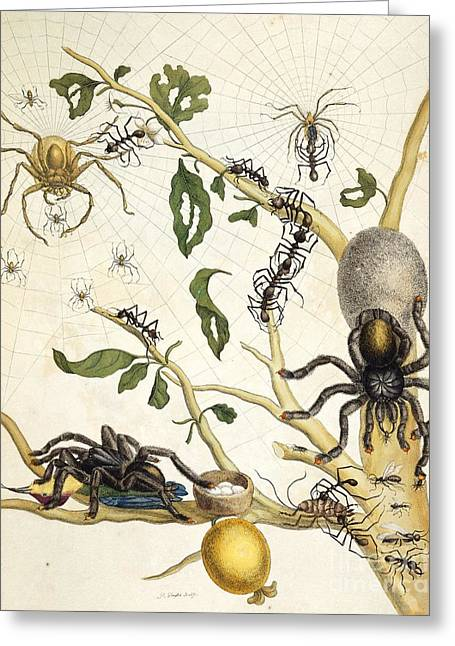 Ants And Spiders Of Surinam, 18th Century Greeting Card