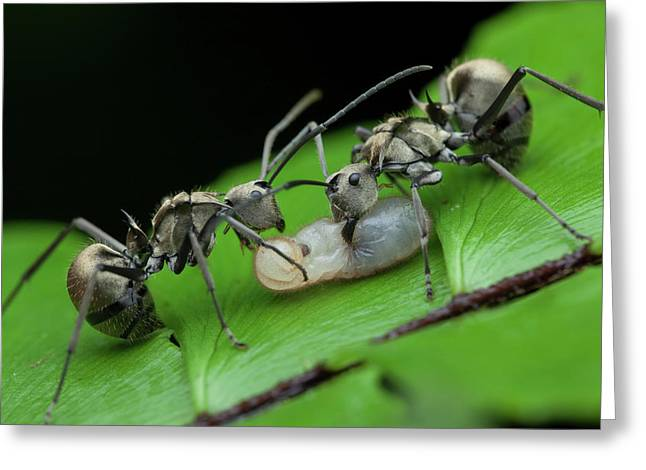 Ants Carrying Larvae Greeting Card