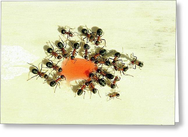Ants Feeding Greeting Card