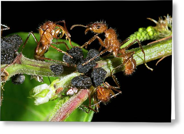 Ants Harvesting Leafhopper Honeydew Greeting Card by Dr Morley Read