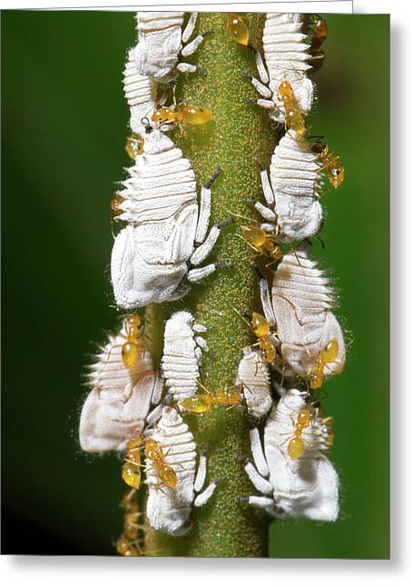 Ants Tending Planthopper Nymphs Greeting Card by Dr Morley Read