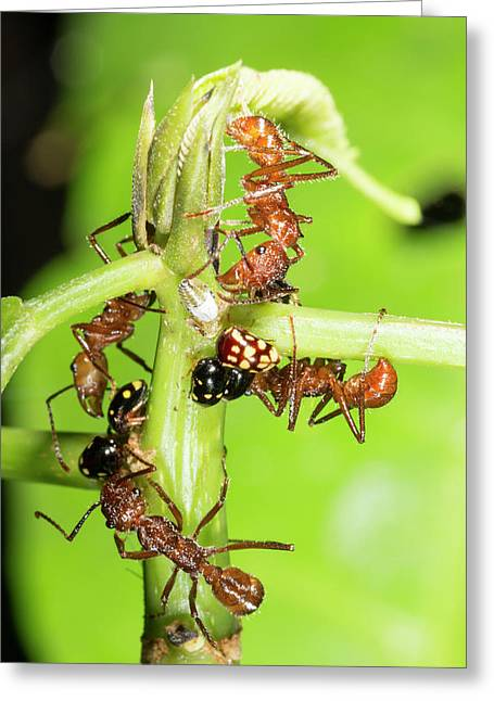 Ants Tending Treehoppers Greeting Card