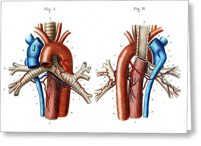 Aortic Arch Greeting Card by Collection Abecasis