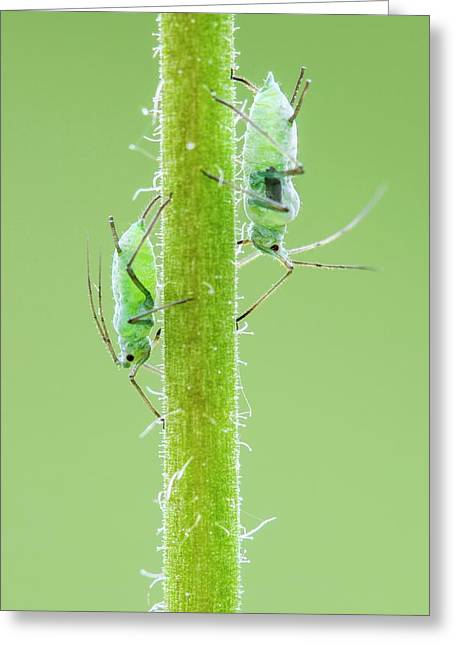 Aphids Greeting Card by Heath Mcdonald