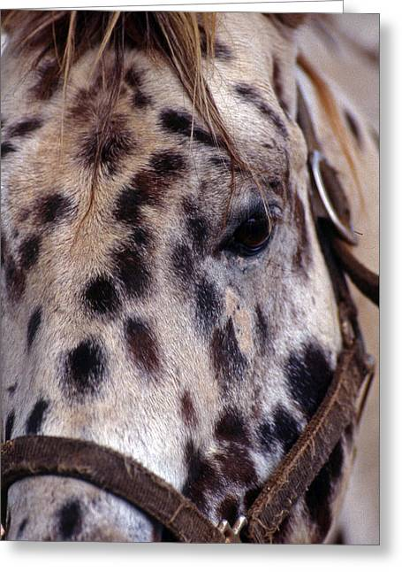 Appaloosa Greeting Card by Skip Willits