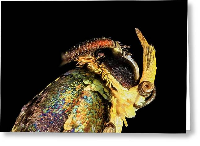 Apple Bark Borer Moth Greeting Card