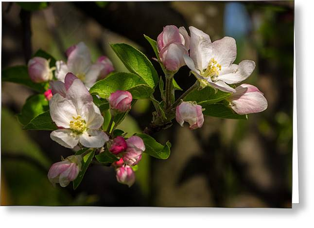 Apple Blossom 3 Greeting Card by Carl Engman