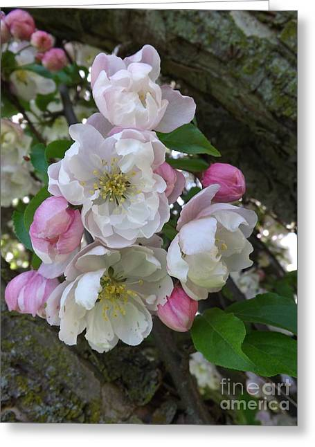 Apple Blossom Bouquet Greeting Card by Sara  Raber