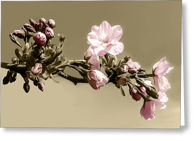 Apple Blossom On Sepia Greeting Card by Yvon van der Wijk