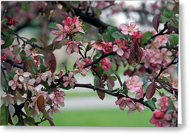 Greeting Card featuring the photograph Apple Blossom Time by Kay Novy